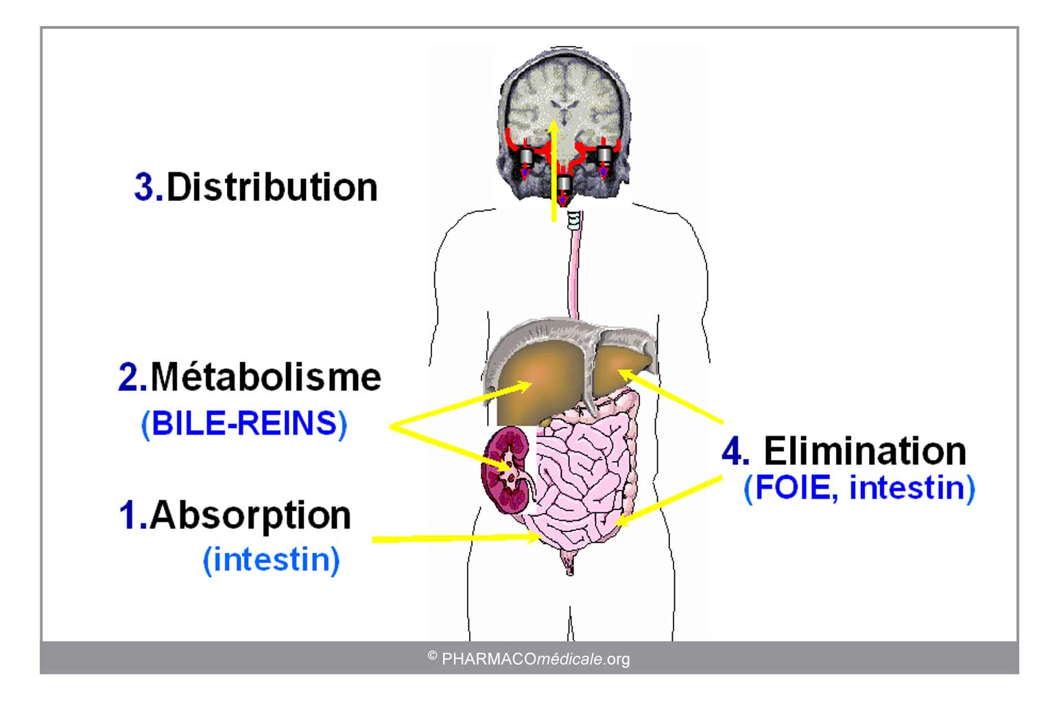 corticosteroides fosfolipase a2